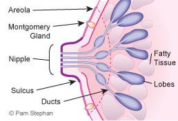 Montgomery Glands Visual