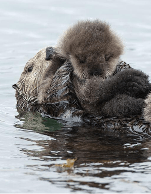 Are Otters Single Mothers